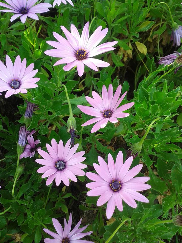 kwiatki swietej urszuli 2_n